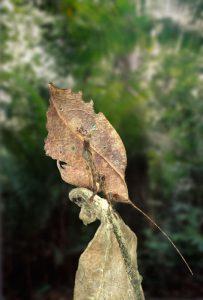 leaf-mimic-katydid 1