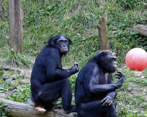 bonobo 1