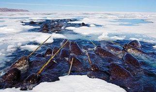 Narval, o unicórnio dos mares 1