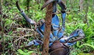 caranguejo dos coqueiros