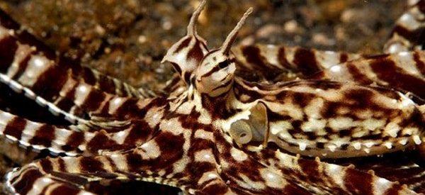 O polvo imitador da Indonésia e a sua impressionante camuflagem
