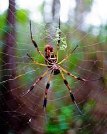 aranhas venenosas