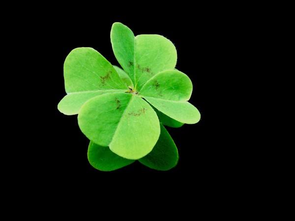 4 leaf clover wallpaper hd