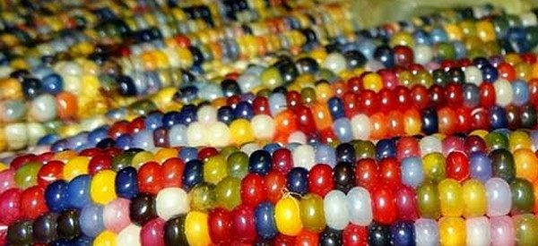 milho colorido