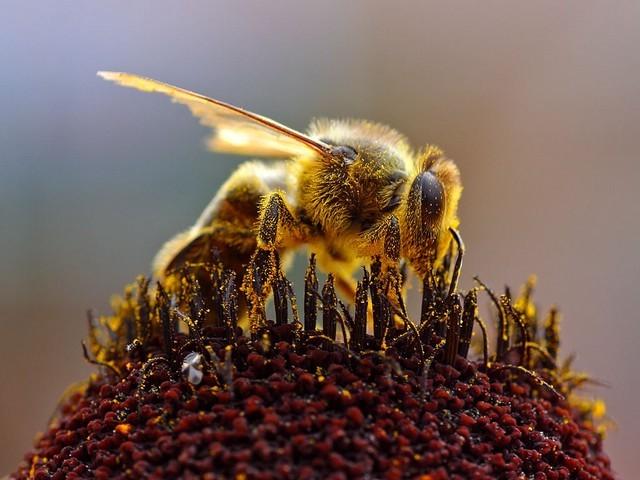 abelha melifera