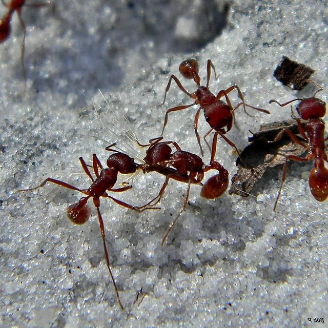 Formiga-vermelha (Pogonomyrmex barbatus)