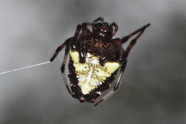 Verrucosa arenata