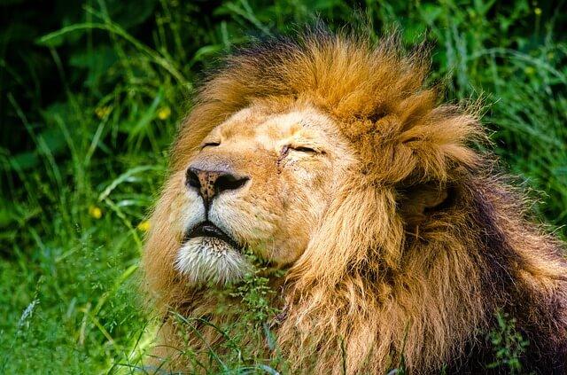 juba do leão
