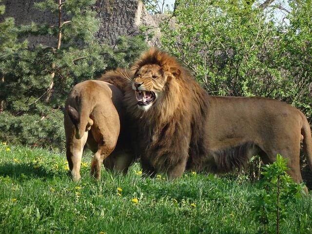 Porque os leões têm juba