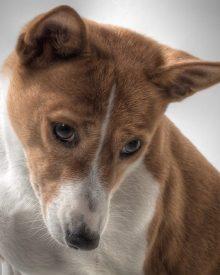 raça de cães que não ladra