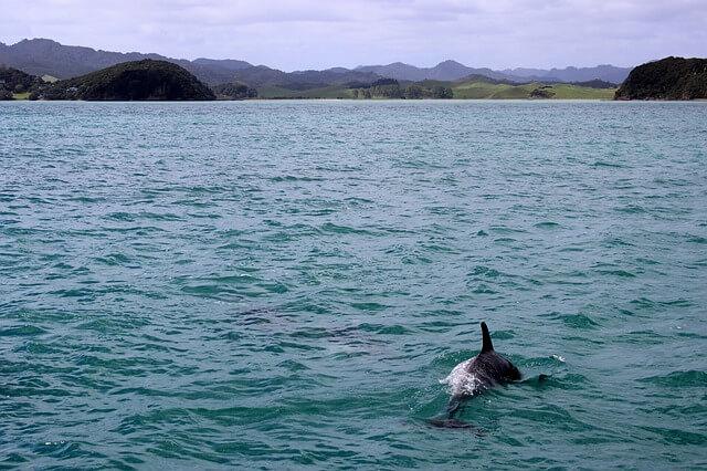 golfinho de maui