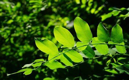 Por que as folhas das plantas são verdes