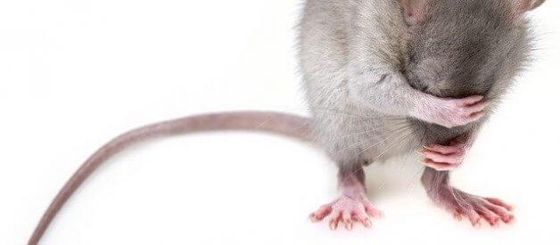 sonhar com ratazanas