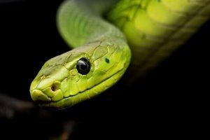 sonhar com cobras